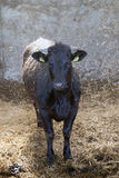 Young black cow in stable with fresh straw Royalty Free Stock Photo
