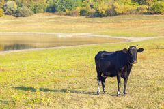 Young black cow. On the sunny meadow Stock Photos