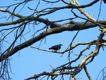 Young  black crow bird, Lithuania Royalty Free Stock Photos