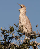 Young Black-crowned Night Heron Royalty Free Stock Images