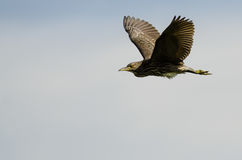 Young Black-Crowned Night-Heron Flying in a Cloudy Sky Royalty Free Stock Photos