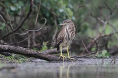 Young Black-crowned Night Heron, Nycticorax nycticorax Royalty Free Stock Photo