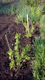 Young black currant plants stock photography