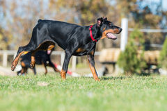 Young black doberman Royalty Free Stock Image