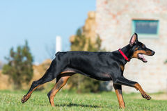 Young black doberman royalty free stock images