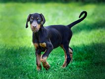 young black doberman puppy on green grass stock photo