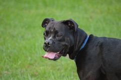 Adorable black dog Stock Image