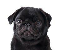 Young black dog pug posing Royalty Free Stock Photography