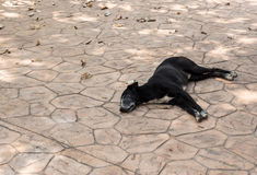 Young black dog is sleeping. Royalty Free Stock Images