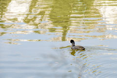 Young Black Duck Royalty Free Stock Photography