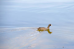 Young Black Duck Stock Image