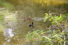 Young Black Duck and Mother. A young black mallard duck is swimming in the lake's water together with the mother Stock Images
