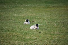 Young black faced spring lambs in a field royalty free stock photos