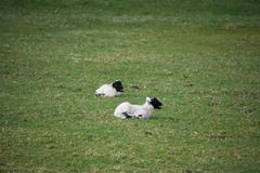 Young black faced spring lambs in a field stock photos
