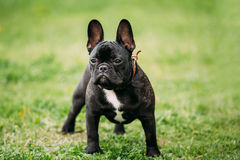 Young Black French Bulldog Dog In Green Grass Stock Photo