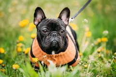 Young Black French Bulldog Dog In Green Grass. Funny Young Black French Bulldog Dog In Green Grass, In Park Outdoor Royalty Free Stock Photo