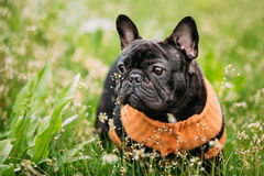 Young Black French Bulldog Dog In Green Grass. In Park Outdoor Royalty Free Stock Photos
