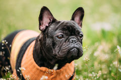 Young Black French Bulldog Dog In Green Grass. In Park Outdoor Stock Photo