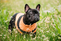 Young Black French Bulldog Dog In Green Grass. In Park Outdoor Stock Photography
