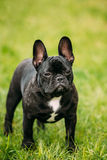 Young Black French Bulldog Dog In Green Grass Royalty Free Stock Images