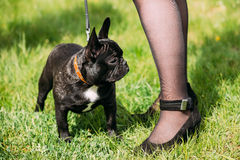 Young Black French Bulldog Dog In Green Grass Stock Images