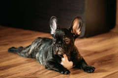 Young Black French Bulldog Dog Puppy Sit On Laminate Floor Indoor. Young Black French Bulldog Dog Puppy With White Spot Sitting On Laminate Floor Indoor Home royalty free stock photos