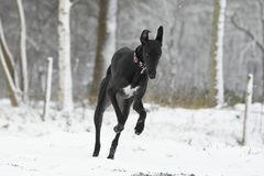 Galgo Espanol running in the Snow. A young black Galgo Espanol having fun running in the Snow Royalty Free Stock Photography