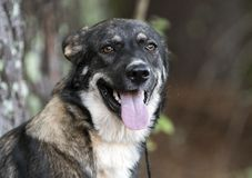 Young Black and German Shepherd Anatolian Shepherd mixed breed dog stock photo