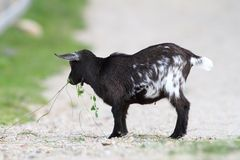Young black goat Stock Photo