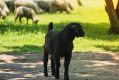 Young black goat on farm alley in summer Royalty Free Stock Images