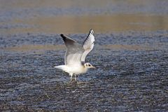 Young Black-Headed Gull Stock Image