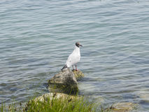 Young Black-headed Gull, Chroicocephalus ridibundus, on stone at shore of lake, selective focus, shallow DOF Royalty Free Stock Photography