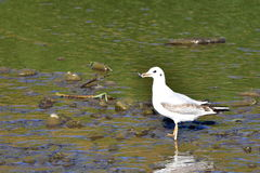 Young black headed gull Stock Photo