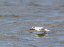 Young black-headed gull to take off Stock Image