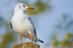 Young Black-headed Gull on wood stake Royalty Free Stock Photos