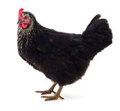 Black hen isolated. Royalty Free Stock Image