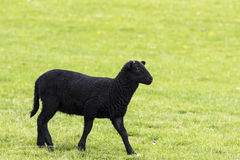 Young black horned lamb walking to the right Stock Photo