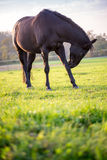 Young black horse Royalty Free Stock Images