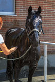 Young black horse is washed of water from a hose by woman Royalty Free Stock Photography