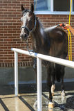 Young black horse is watered with hose Royalty Free Stock Image