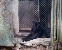 Young black jaguar at zoo royalty free stock photography