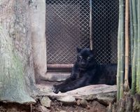 Young black jaguar at zoo stock images