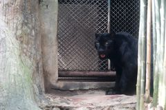 Young black jaguar at zoo. In Thailand royalty free stock image