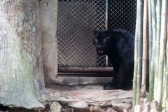 Young black jaguar at zoo royalty free stock photo