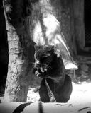 Young black jaguar at zoo royalty free stock photos