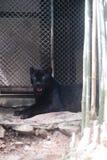 Young black jaguar at zoo stock photos