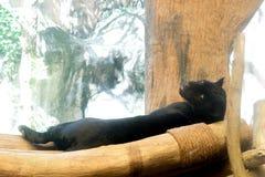 Young black jaguar at zoo royalty free stock images