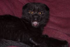 Young black kitten yawns. scottish fold chocolate kitten is yawning as if singing opened his mouth stock photography