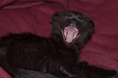 Young black kitten yawns royalty free stock photography
