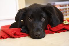 Young black labrador. Is relaxing Royalty Free Stock Image